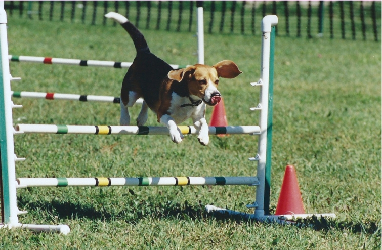 The Michael Jordan of Beagles