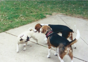 That's a strange looking beagle